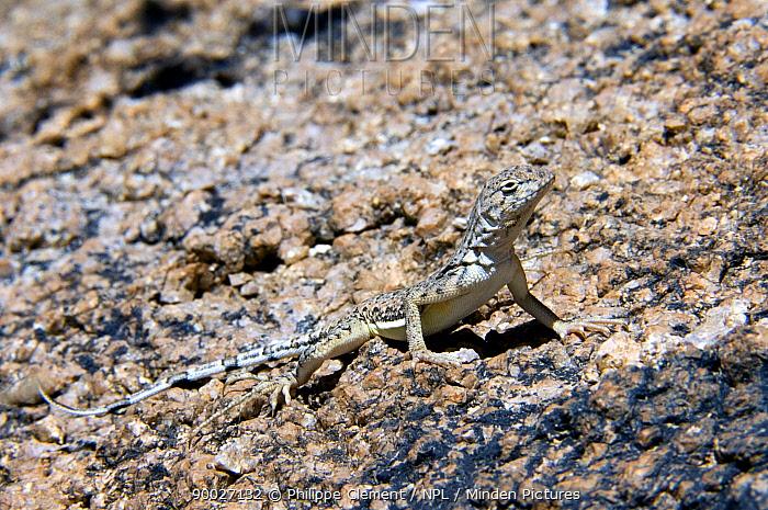 Zebra-tailed Lizard (Callisaurus draconoides) basking on rock Saguaro National Park, Arizona  -  Philippe Clement/ npl