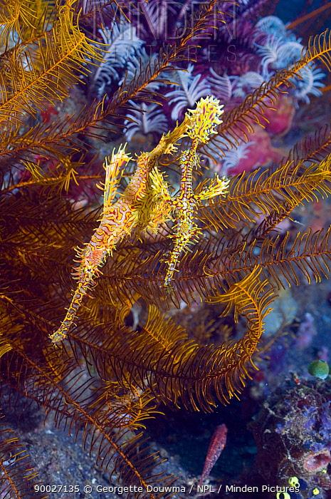 Harlequin Ghost Pipefish (Solenostomus paradoxus) camouflaged amongst crinoids, Lembeh Strait, Sulawesi, Indonesia  -  Georgette Douwma/ npl