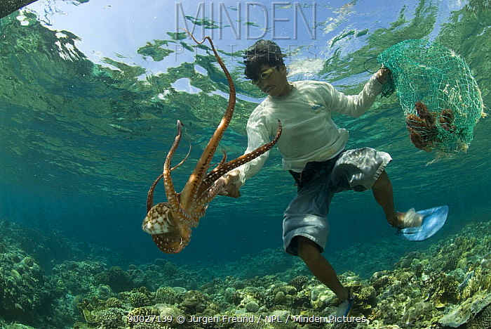 Common Octopus (Octopus vulgaris) hunter catching individual, Philippines  -  Jurgen Freund/ npl