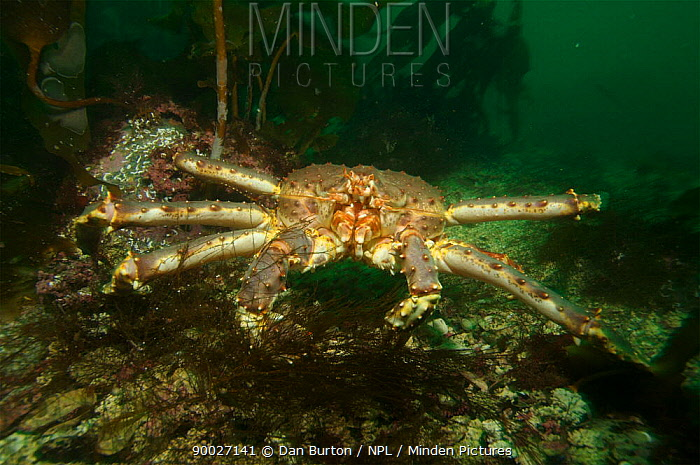 Giant red king crab (Paralithodes camtschaticus) Kirkiness, Norway  -  Dan Burton/ npl
