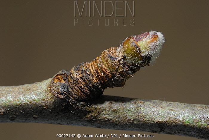 Apple tree twig winter bud  -  Adam White/ npl