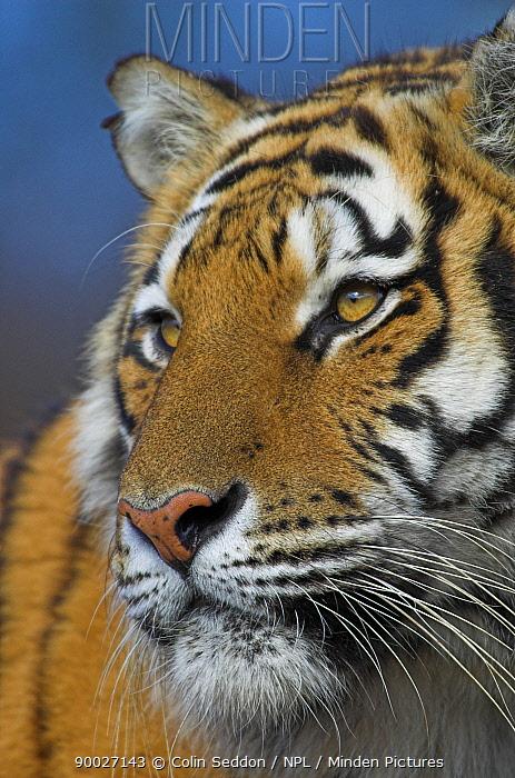Bengal Tiger (Panthera tigris tigris) close-up of face, captive in United Kingdom  -  Colin Seddon/ npl