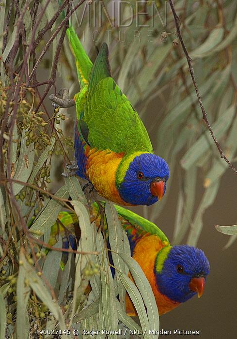 Rainbow Lorikeet (Trichoglossus haematodus) pair feeding on Eucalyptus blossom, Victoria, Australia  -  Roger Powell/ npl