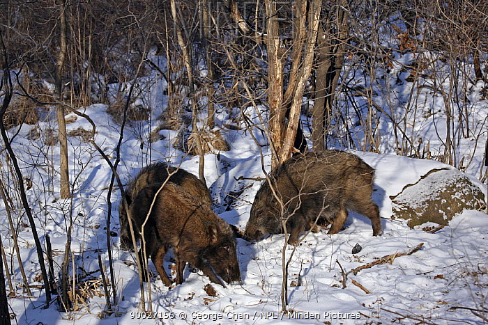 Wild Boar (Sus scrofa) foraging in the forests of Heilongjiang province, north-east China  -  George Chan/ npl