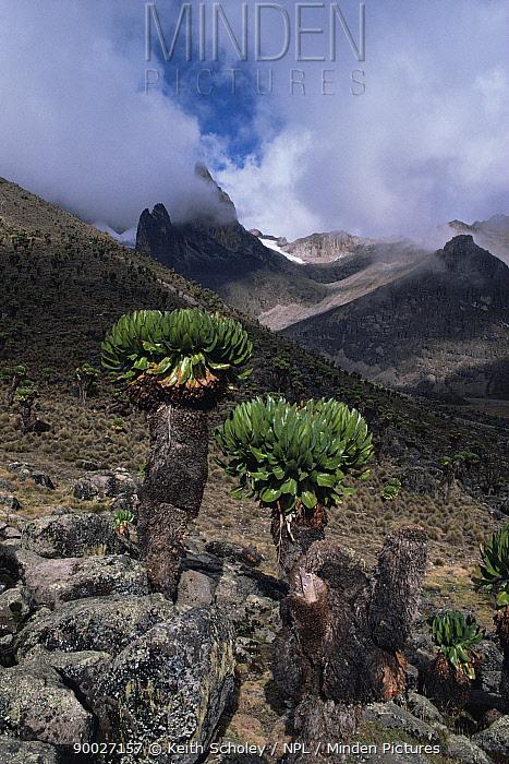 Giant groundsel (Senecio sp) growing on Mount Kenya at 13-15,000 ft, Mt Kenya NP, Kenya  -  Keith Scholey/ npl