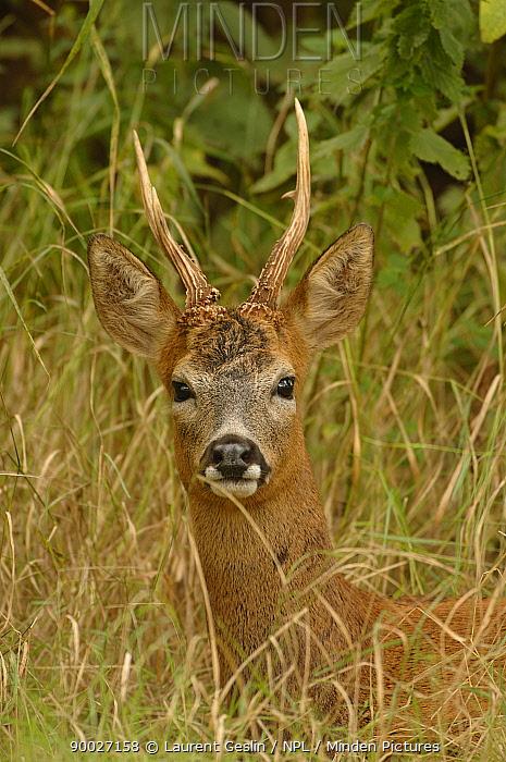 Western Roe Deer (Capreolus capreolus) buck, Essex, England  -  Laurent Geslin/ npl