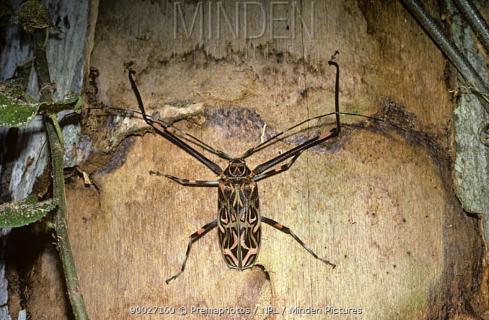 Harlequin Beetle (Acrocinus longimanus) male above one of the characteristic oval larval galleries, in a dead tree in rainforest, Trinidad  -  Premaphotos/ npl