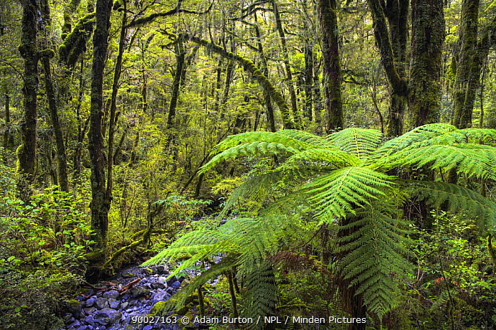 Temperate rainforest in Fiordland National Park, South Island, New Zealand  -  Adam Burton/ npl