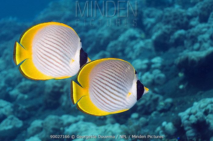 Eyepatch Butterflyfish (Chaetodon adiergastos) Bali, Indonesia  -  Georgette Douwma/ npl