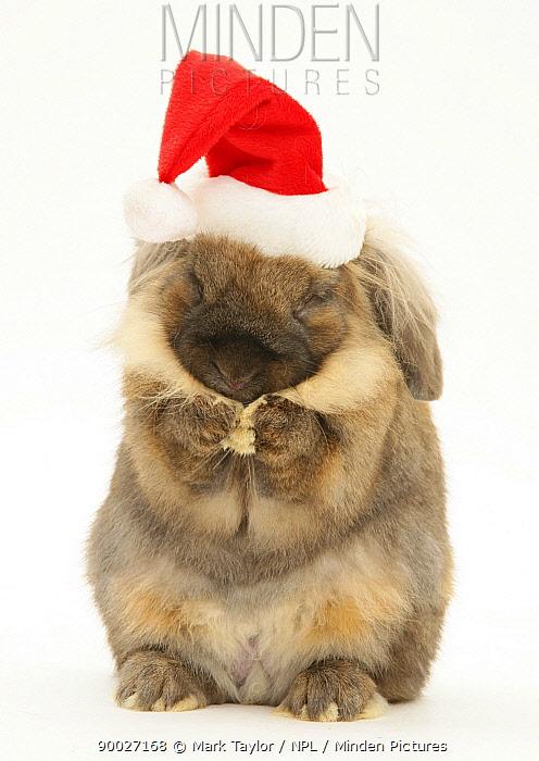 Lionhead rabbit wearing Father Christmas hat, washing itself  -  Mark Taylor/ npl