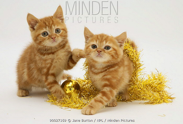 Domestic Cat (Felis catus) two Red tabby kittens with gold christmas tinsel  -  Jane Burton/ npl