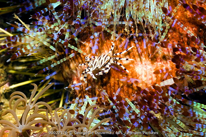 Adam's Urchin Crab (Zebrida adamsii) on Fire urchin (Asthenosoma varium), Rinca, Indonesia  -  Georgette Douwma/ npl