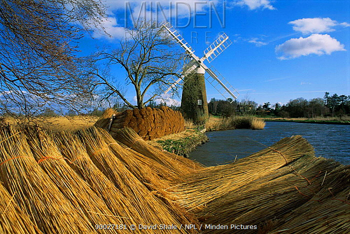 Cut reeds and windmill at How Hill, Norfolk Broads, England  -  David Shale/ npl