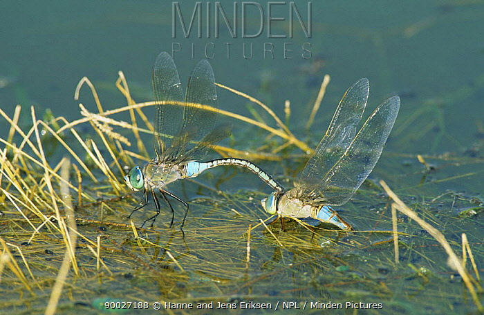 Lesser Emperor Dragonfly (Anax parthenope) ovipositing, Muscat, Oman  -  Hanne & Jens Eriksen/ npl