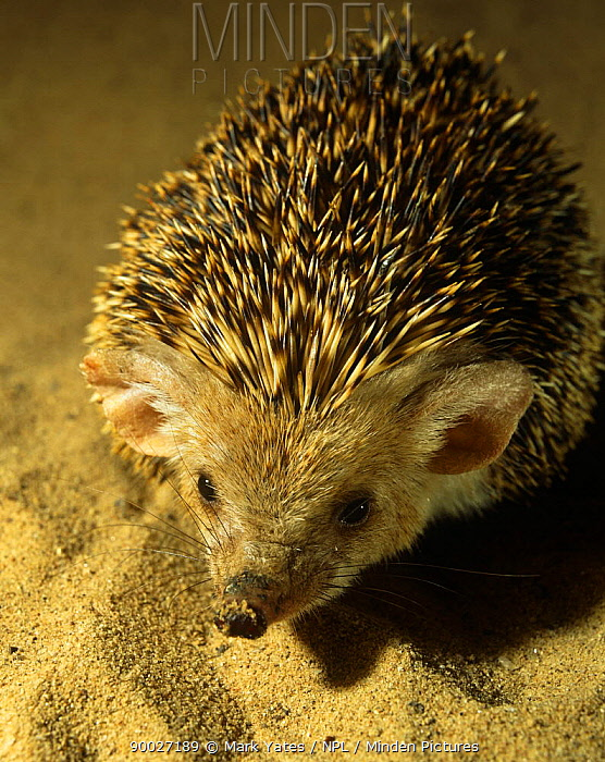 Captive Long eared desert hedgehog (Hemiechinus auritus) from North Turkmenistan, CIS  -  Mark Yates/ npl