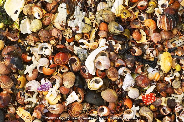 Close-up of sand made from crushed shells and sea urchins, Freya beach near Croig, Isle of Mull, Scotland, UK  -  Jason Smalley/ npl