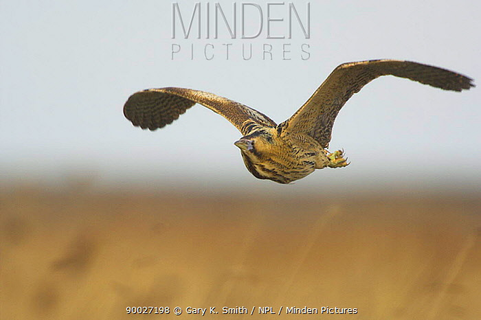 Great Bittern (Botaurus stellaris) in flight over coastal reedbed, Norfolk, United Kingdom  -  Gary K. Smith/ npl