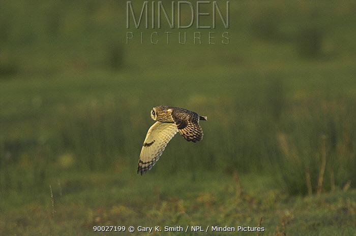 Short-eared Owl (Asio flammeus) profile in flight over coastal grazing marsh, Norfolk United Kingdom  -  Gary K. Smith/ npl