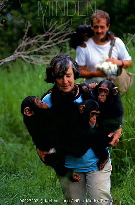 Chimpanzee (Pan troglodytes) orphans carried by Sheila Siddle, Chiumfunshi sanctuary, Zambia Several ape sanctuaries exist throughout Africa but most are full and cannot accept newcomers  -  Karl Ammann/ npl