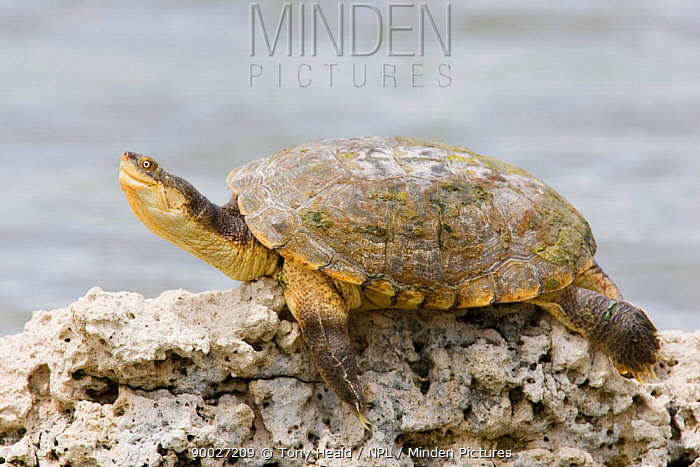 African Helmeted Turtle (Pelomedusa subrufa) sunning on rock, Etosha National Park, Namibia  -  Tony Heald/ npl