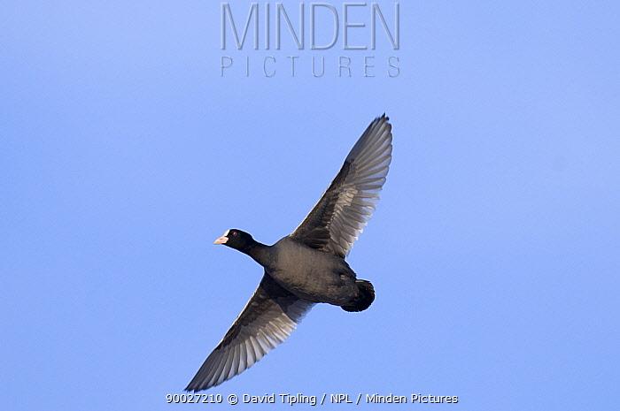 Coot (Fulica atra) in flight, United Kingdom  -  David Tipling/ npl