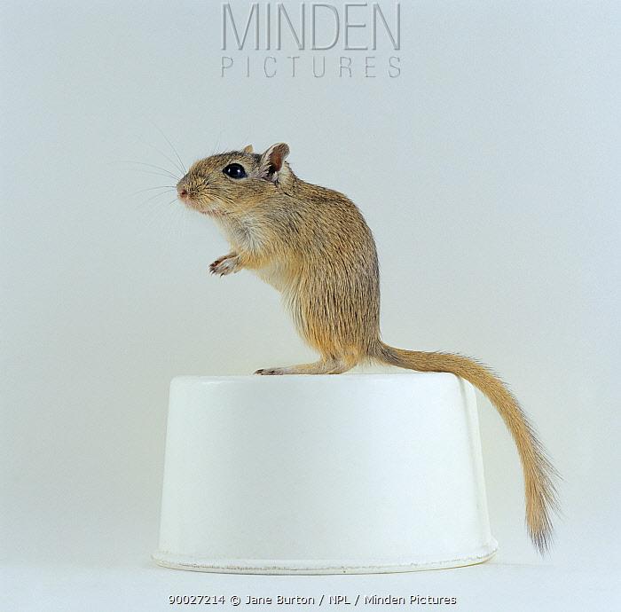 Mongolian Gerbil (Meriones unguiculatus) standing on a white food bowl  -  Jane Burton/ npl