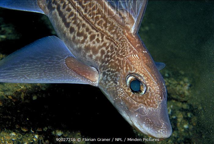 Rabbit Fish (Chimaera monstrosa) female, Norway  -  Florian Graner/ npl