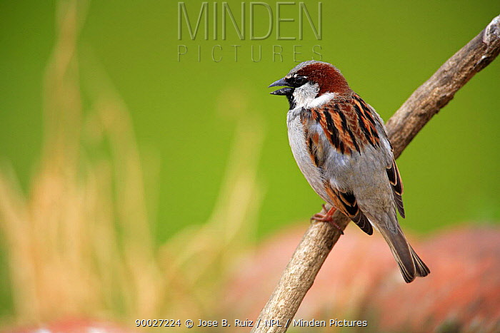 House Sparrow (Passer domesticus) calling from branch, Quintana de la Serena, Badajoz, Extremadura, Spain  -  Jose B. Ruiz/ npl