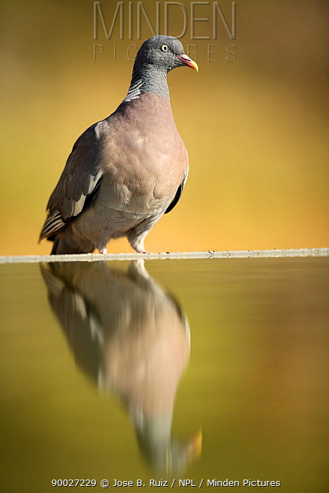 Common Wood-pigeon (Columba palumbus) with reflection in bird bath, Pl� de Xirau, Alicante, Spain  -  Jose B. Ruiz/ npl