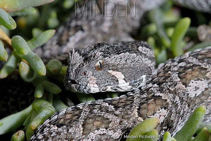 Female Southern Adder (Bitis armata) DeHoop Nature reserve, Western Cape, South Africa  -  Tony Phelps/ npl