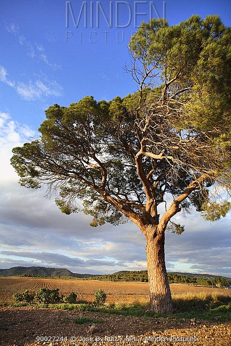 Italian Stone Pine (Pinus pinea) Villena, Alicante, Spain  -  Jose B. Ruiz/ npl