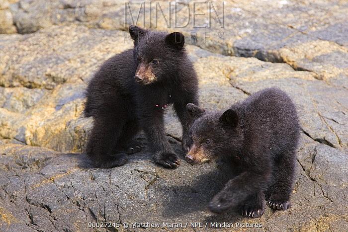 Black Bear (Ursus americanus) cubs Clayoquot Sound, Vancouver Island, Canada  -  Matthew Maran/ npl