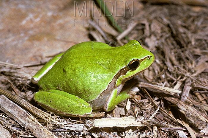 European Tree Frog (Hyla arborea) amongst twigs, Israel  -  Premaphotos/ npl