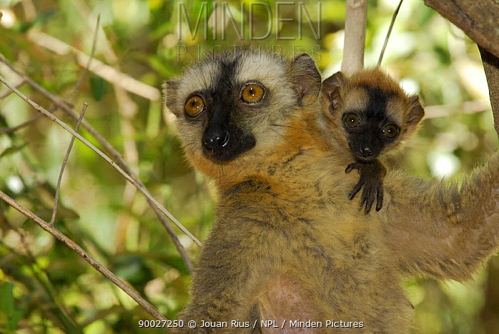 Hybrid Lemur female and young (Eulemur fulvus collaris x Eulemur fulvus rufus), dry forest of Berenty reserve, Madagascar South  -  Jouan & Rius/ npl