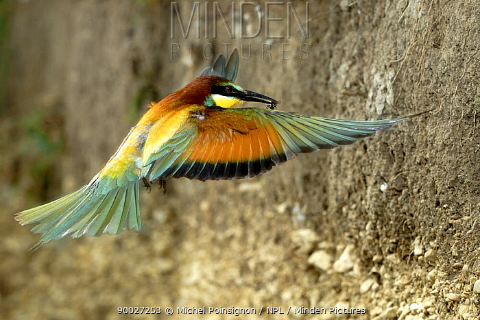 European Bee-eater (Merops apiaster) flying to nest hole with insect prey, Lorraine, France  -  Michel Poinsignon/ npl