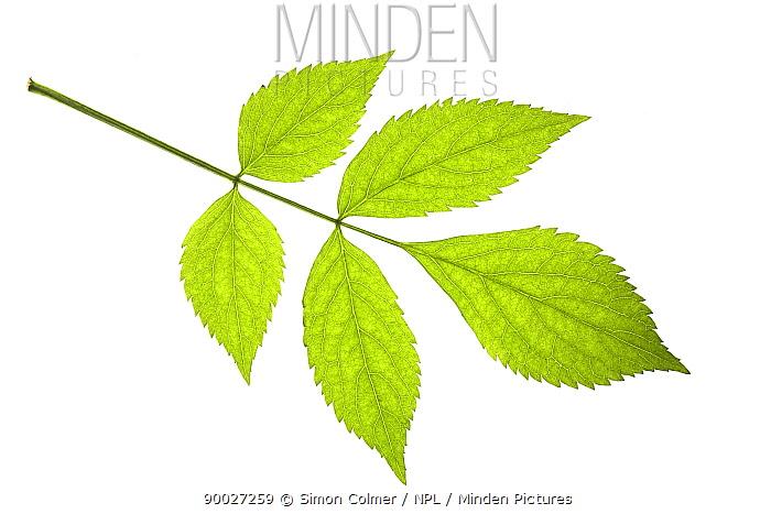 Elder (Sambucus nigra) leaves, UK  -  Simon Colmer/ npl