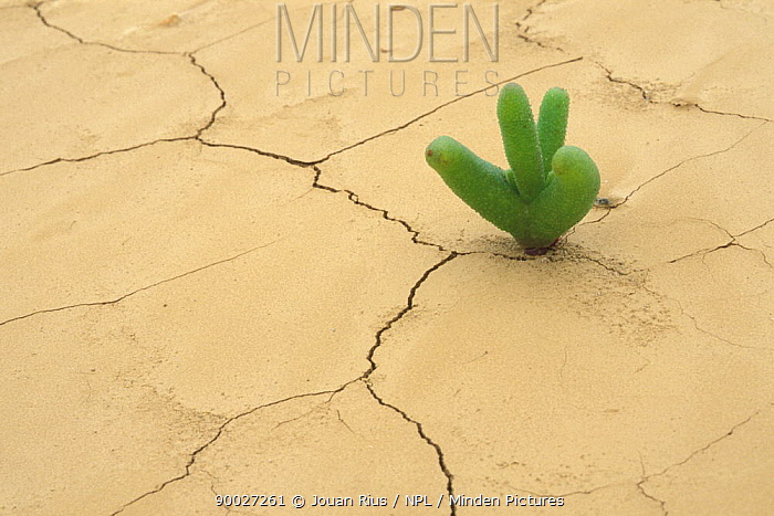Young plant growing on a dried lake after the rainy season, Namib desert, Namibia  -  Jouan & Rius/ npl
