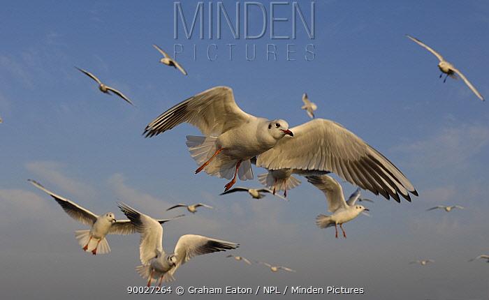 Black-headed Gull (Larus ridibundus) flock in flight, Wirral, United Kingdom  -  Graham Eaton/ npl