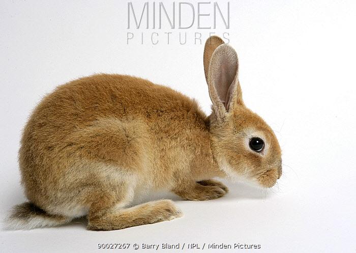 Rex domestic rabbit  -  Barry Bland/ npl