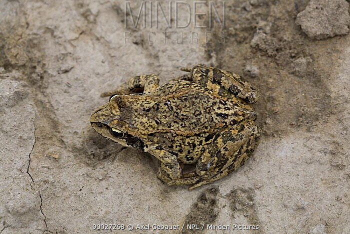 Chinese brown frog, Asiatic grass frog (Rana chensinensis) on hard ground Koko Nor lake, Tso Ngonbo, Qinghai lake, Qinghai, Tibet, Amdo, China  -  Dr. Axel Gebauer/ npl