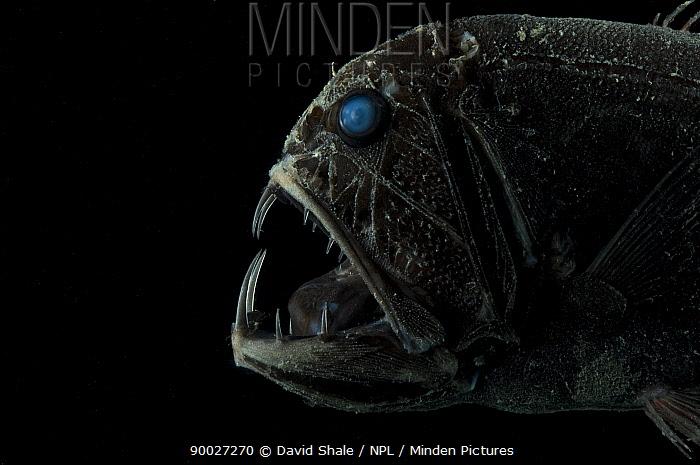 Fangtooth (Anoplogaster cornuta) close-up of head showing teeth, deepsea, from the Mid-Atlantic Ridge, depth 2600m  -  David Shale/ npl