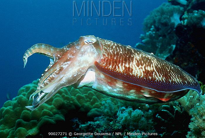 Broadclub Cuttlefish (Sepia latimanus) on coral reef, Indonesia  -  Georgette Douwma/ npl