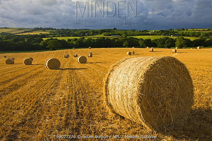 Round straw bales in a field near Morchard Bishop, Devon, England  -  Adam Burton/ npl