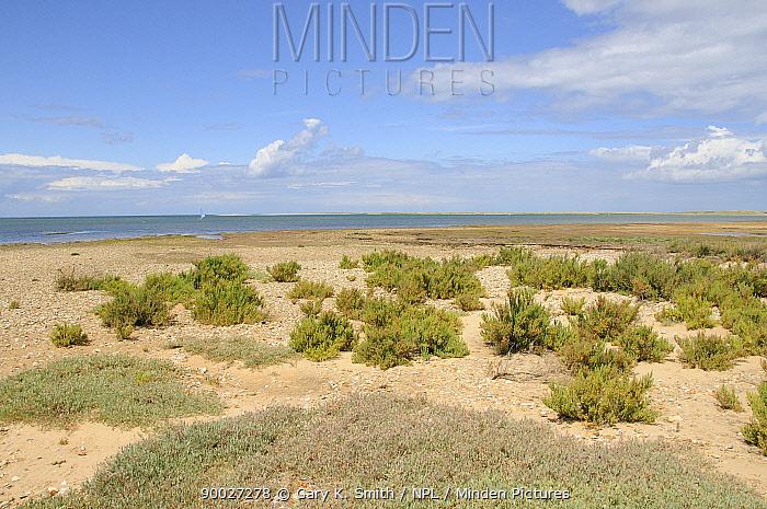 Sea Purslane (Halimione portulacoides) and Seablight (Suaeda maritima) growing on coastal shingle, Norfolk, UK, July  -  Gary K. Smith/ npl