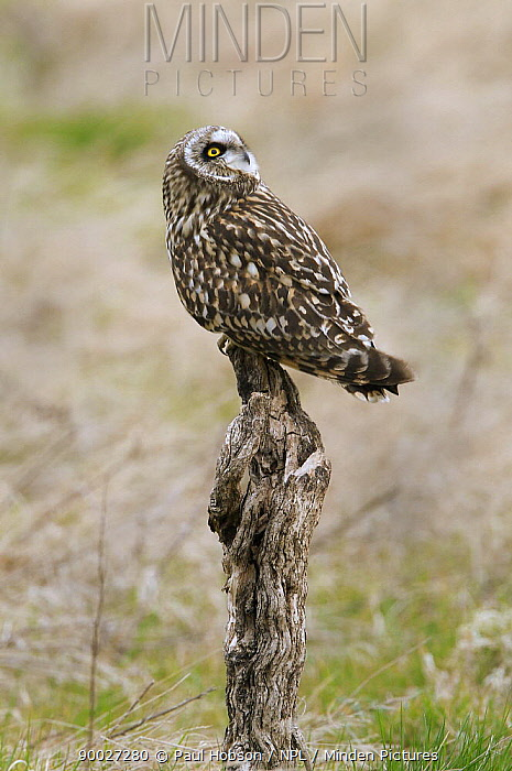 Short-eared Owl (Asio flammeus) perched on stump with head looking backwards, North Wales, United Kingdom  -  Paul Hobson/ npl