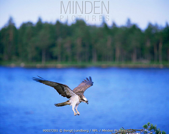 Osprey (Pandion haliaetus) Sweden  -  Bengt Lundberg/ npl