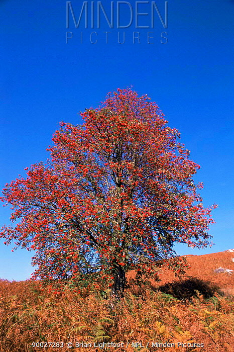 Autumn scenics in Scotland, showing the changing leaves Fruits, bracken and blue skies  -  Brian Lightfoot/ npl