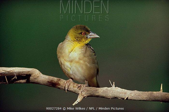Village Weaver (Ploceus cucullatus) Gambia  -  Mike Wilkes/ npl
