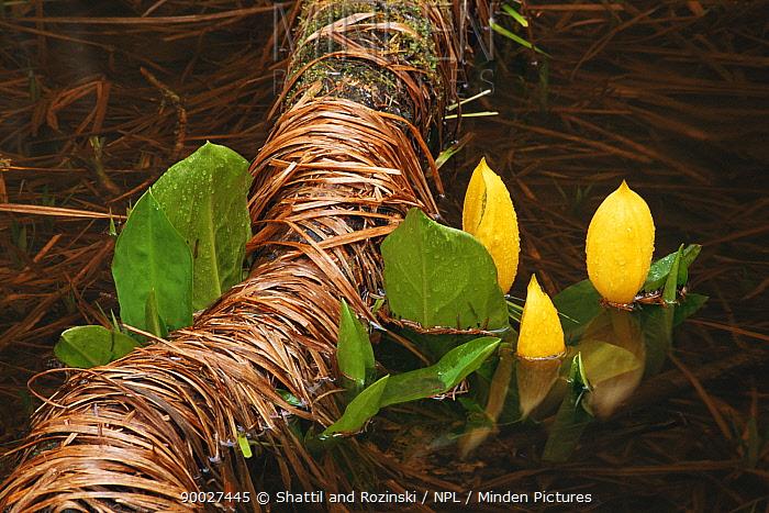 Skunk cabbage (Lysichiton americanus) flowering in wetland bog, Olympic NP, Washington, USA  -  Shattil & Rozinski/ npl