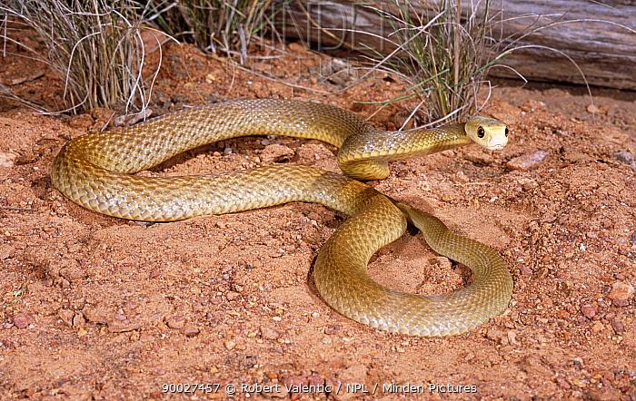 Coastal taipan snake (Oxyuranus scutellatus) female loosely coiled posture adopted in preparation of striking, Queensland, Australia  -  Robert Valentic/ npl